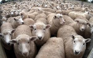 sheep_2724972b